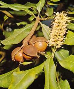 Λάδι macadamia